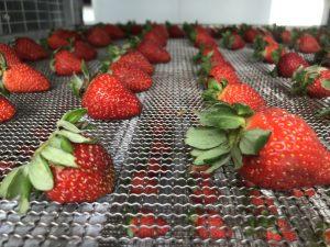 Solar Dried Strawberry